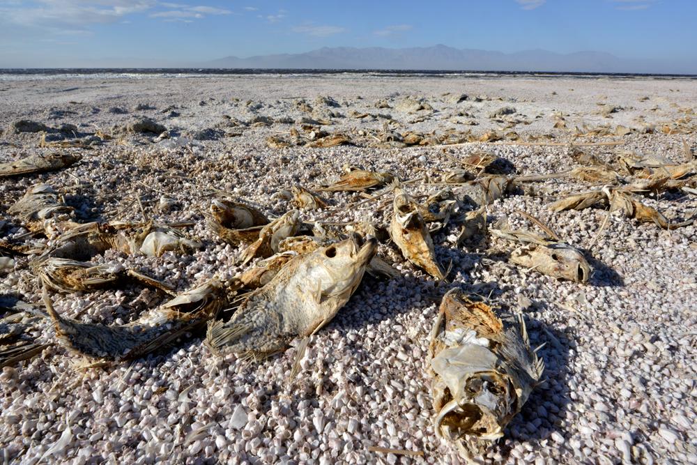 Salton Sea Tilapia